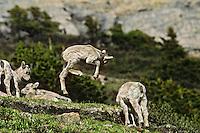 Bighorn sheep lamb frolicking about, June.