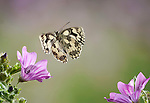Marbled White Butterfly, Melanargia galathea, In flight, free flying, High Speed Photographic Technique.United Kingdom....