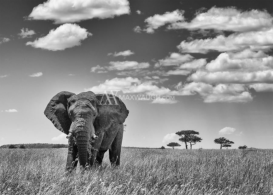 A lone bull elephant forages in the southern Serengeti.