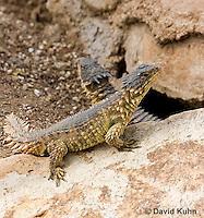 0521-1002  Pair of Sungazer Lizards Sunning Outside Burrow (Giant Girdled Lizard or Giant Zonure), Cordylus giganteus  © David Kuhn/Dwight Kuhn Photography