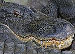 Alligator teeth-Everglades