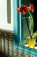 An Amaryllis in a yellow pot sits on a windowsill in the sunshine