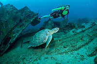 Green Sea Turtle living on <br />
