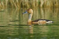 Fulvous Whistling-Duck - Fulvous Whistling-Duck