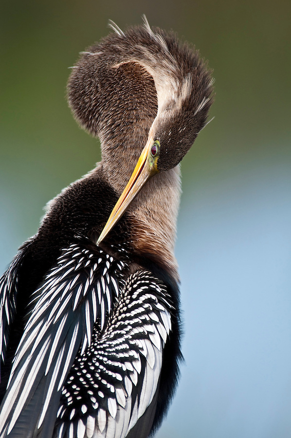 Portrait of Anhinga taken in the Florida Everglades. The Anhinga (Anhinga anhinga), is a water bird of the warmer parts of the Americas. .It is a cormorant-like bird.