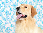 Golden Retriever portrait isolated on blue wallpaper background