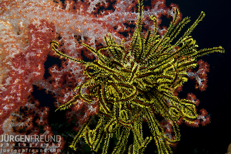 Soft coral (Dendronephthya sp.)  and crinoid in the reef