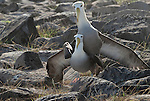 Mating albatrosses on espanola galapagos. The albatrosses are usually monogamous. The galapagos albatros lives on espanola during a part of the year (April-December). They mate and breed on Espanola.