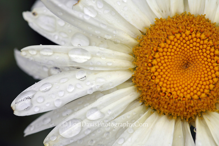 Dew Drops on Daisy  #F20