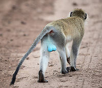 Male blue monkeys are known for one--er, two--things.