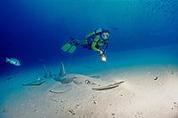 White-spotted guitarfish and scuba diver, Rhynchobatus djiddensis, Maldives Islands, Indian ocean, Ari Atol, Atoll