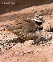 0510-1127  Killdeer, Adult Sitting on Eggs, Charadrius vociferus  © David Kuhn/Dwight Kuhn Photography