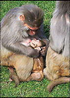 BNPS.co.uk (01202 558833)<br /> Pic: IanTurner/BNPS<br /> <br /> Mum with her younger macaque.<br /> <br /> Macaque attack - cheeky monkey photobombs a picture.<br /> <br /> A jealous macaque has created a hillarious photobomb moment as it trys to gate crash its mum and a younger sibling at the Longleat Safari park in Wiltshire.