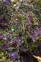 Solenostemon (Coleus) 'Crinkly Bottom' lobed dark purple black foliage with green edges, annual foliage plant with ornamental leaves