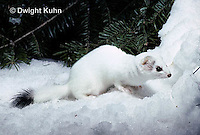 MA06-118x  Short-Tailed Weasel - ermine exploring forest for prey in winter, camouflaged - Mustela erminea