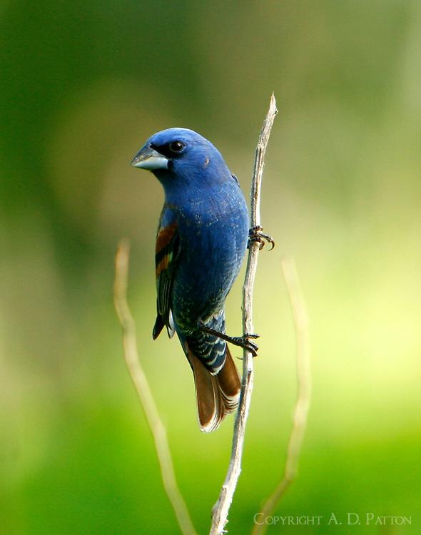 Adult male blue grosbeak on weed stalk
