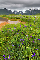Field of wild iris wildflowers in Katmai National Park along Alaska's southwest coast of the Alaska Peninsula, Aleutian mountain range in the distance.