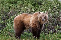 Grizzly Bear (Ursus arctos) among subalpine willows.  Banff National Park, Alberta Canada.  June.