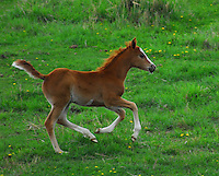 Red foal galloping across a green pasture with tail flying.