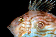 John Dory, Zeus faber, depth range .up to 400 m, note a large ocellated spot .(false eye-spot), Osezaki, Suruga Bay, .Izu Peninsula, Shizuoka, Japan (Pacific)