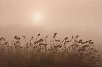 Diffused sun peeking through morning fog and tall reeds in a farmer's field