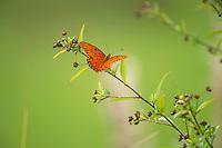 Gulf Fritillary Butterfly, Merritt Island, Florida