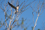 Rose Canyon, San Diego, California; a fledgling white-tailed kite lands in a leafless tree soon after leaving the nest