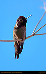 Anna's Hummingbird Male, Eyes Closed, Sepulveda Wildlife Refuge, Southern California