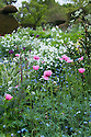 Beth's poppy (Papaver dubium subsp. lecoqii var. albiflorum), Forget-me-nots (Myosotis arvensis) and white Honesty (Lunaria annua alba) in the Peacock Topiary Garden, Great Dixter, early May.