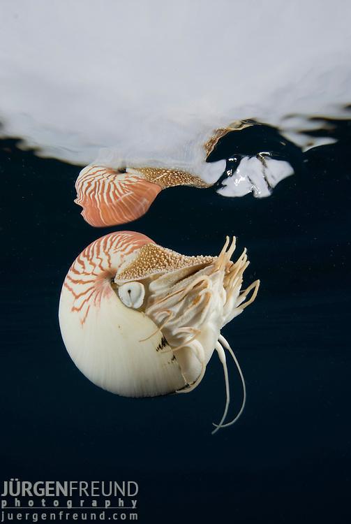 Nautilus under water surface, Nautilus pompilius