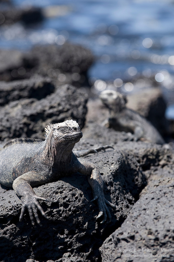 Puerto Ayora, Santa Cruz Island, Galapagos, Ecuador; two Marine Iguanas (Amblyrhynchus cristatus) on the volcanic rocks at the water's edge of the beach at the Charles Darwin Research Station , Copyright © Matthew Meier, matthewmeierphoto.com All Rights Reserved