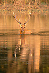 Barasingha, Ranthambore National Park, India