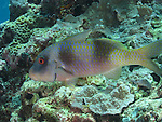 Siaes Tunnel, Palau -- Unidentified goatfish, possibly a Cinnabar goatfish.