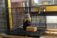 Caged Gibbons at the world's most exotic pet shop called Noah Inner City Zoo that claims to have more than 300 species for sale, many are exotic and rare animals - some endangered. Many animals are for sale - One of these Gibbons is used as talent in TV commercials while others are for sale at around 2.2 million Yen or 25,000 US$.