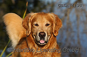 Bob, ANIMALS, REALISTISCHE TIERE, ANIMALES REALISTICOS, dogs, photos+++++,GBLA4198,#a#, EVERYDAY