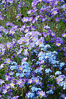 Beautiful Jacob's Ladder and Alpine Forget-Me-Not, Kenai Peninsula, Chugach National Forest, Alaska.