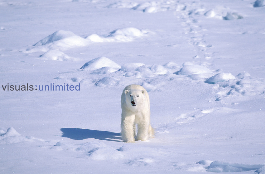 Polar bear ,Ursus maritimus, in the summer. Svalbard