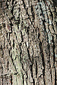 Trunk and bark of Pyrus pashia. Sometimes also known as Himalayan, Afghan or Indian wild pear.