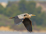 Great Blue Heron (Ardea herodias) adult in flight, California, USA
