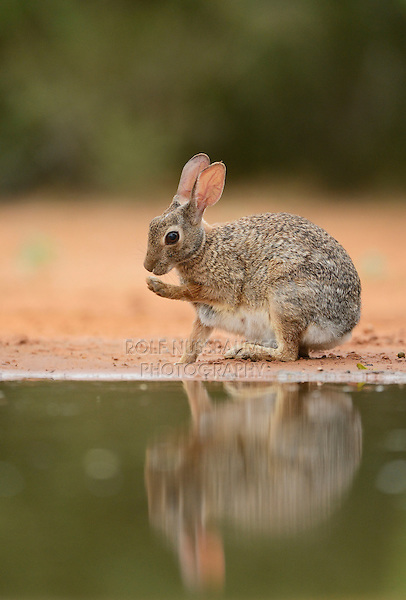 Eastern Cottontail (Sylvilagus floridanus), adult grooming at ponds edge, South Texas, USA