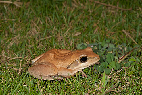 Common Indian Tree Frog - Polypedates maculatus