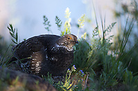 Blue (or dusky) grouse are often seen displaying in spring.  One of the most common places to find them is at the Lake Butte Overlook.