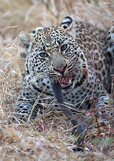 MalaMala may be the best place to see wild leopards on earth.  This female had stolen a vervet monkey carcass out of a tree.