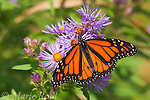 Monarch (Danaus plexippus) feeding on New England Aster (Aster novae-angliae) in autumn, New York, USA