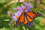 Monarch (Danaus plexippus) feeding on New England Aster (Aster novae-angliae) in autumn, New York, USA