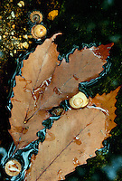 Oak leaves, acorns, and snail shells floating in shallow creek
