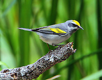 Adult female golden-winged warbler