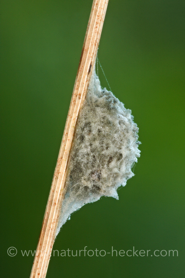 Gemeine Streckerspinne, Eikokon, Tetragnatha extensa, Long-jawed spider, long-jawed orb weaver