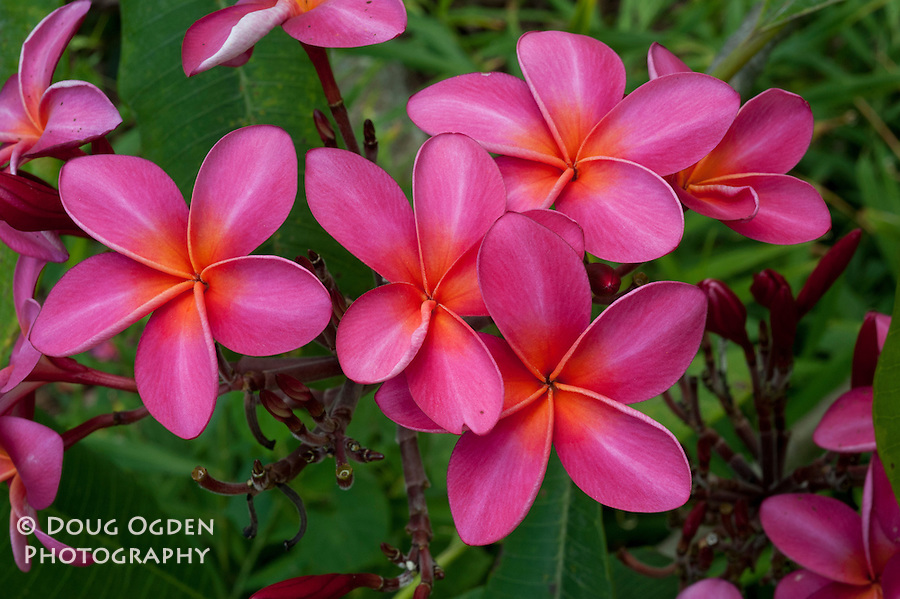Pink Plumeria flowers from Hawaii