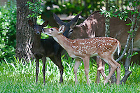 Black Fawn with sibling and parent